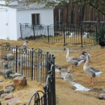 Ranch Hand Rescue's ornery geese