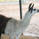 A second llama