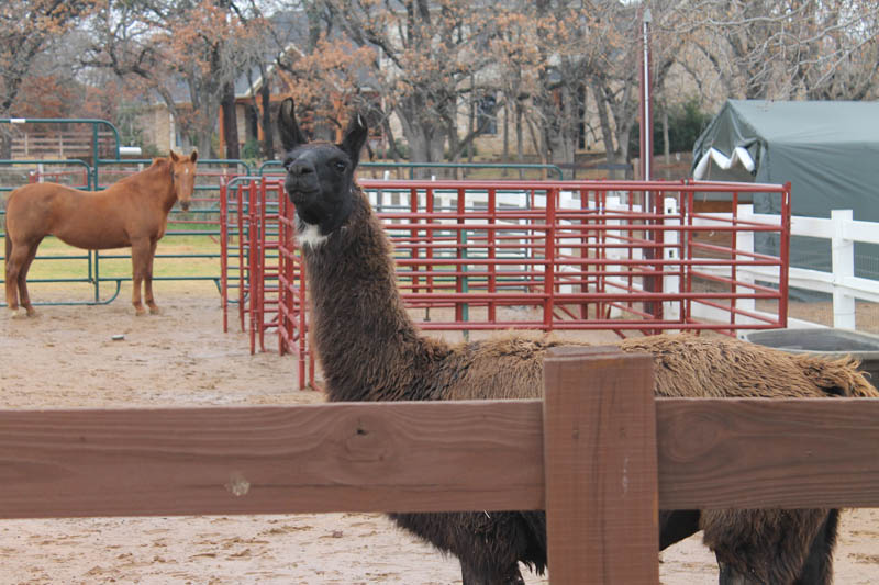 Al, a llama, follows visitors around the ranch but doesn't particularly like to be touched.