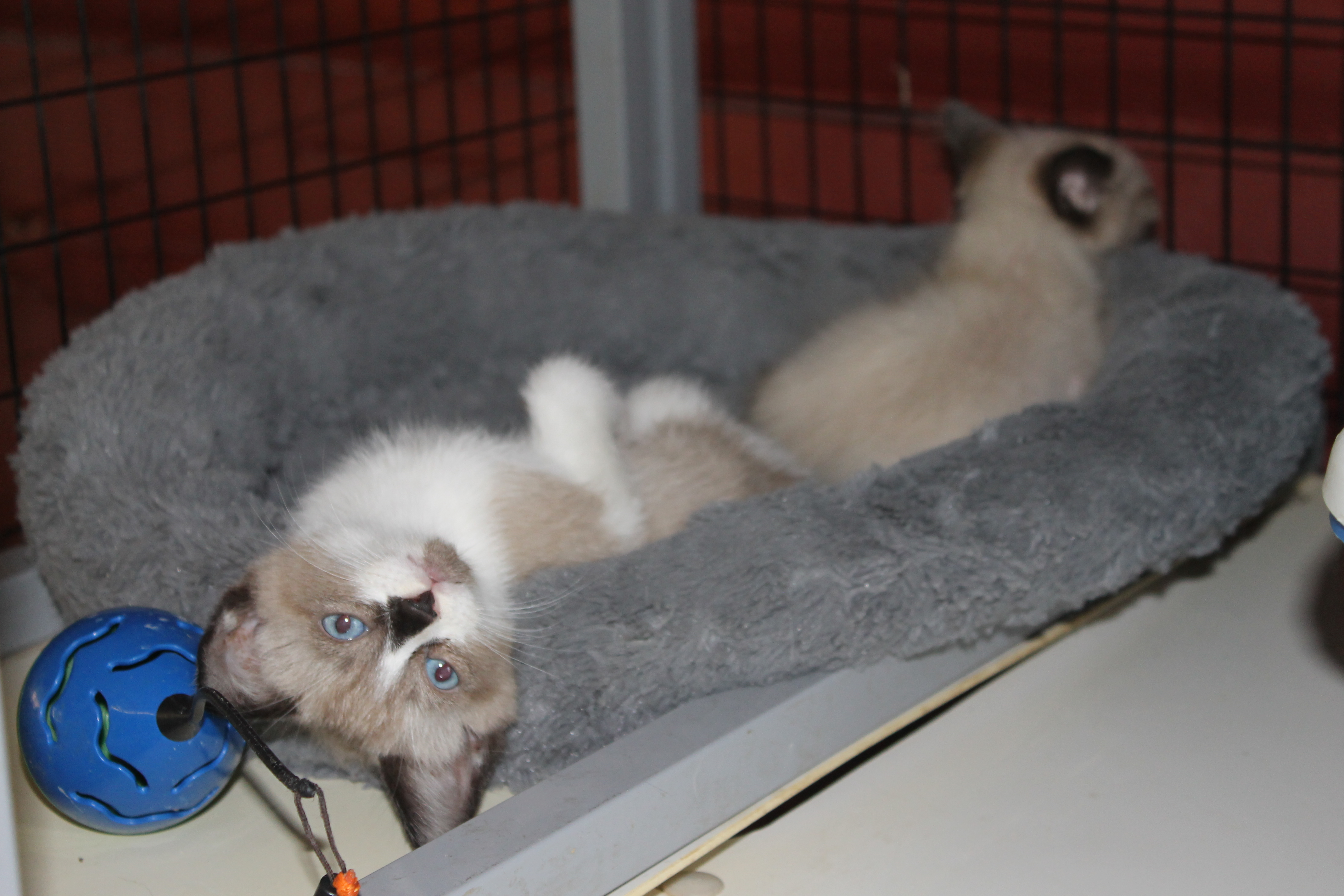 Texas Siamese Rescue desperately needs financial help after funds stolen