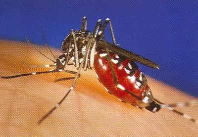 Mosquito_rdax_400x277