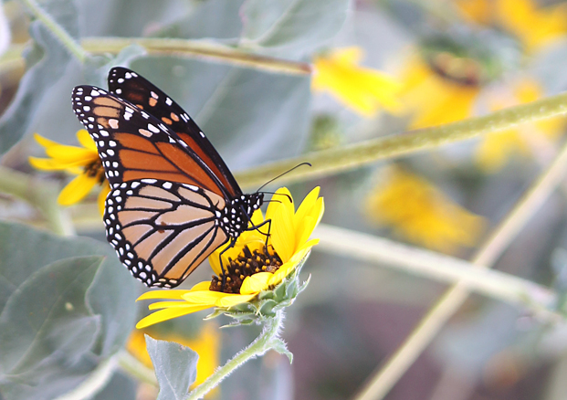 Butterflies should become more common along the trail as more wildflowers grow