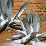 snow covered yucca