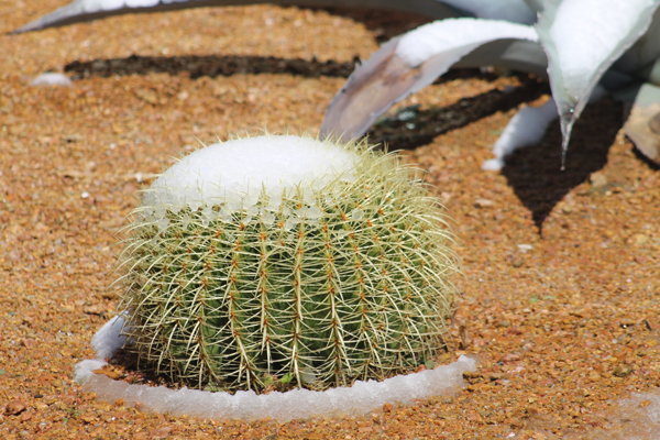 snow covered cactus