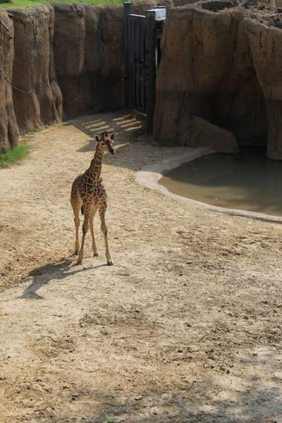 World-famous Dallas Zoo giraffe Kipenzi dies