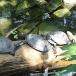 Turtles at Moody Garden