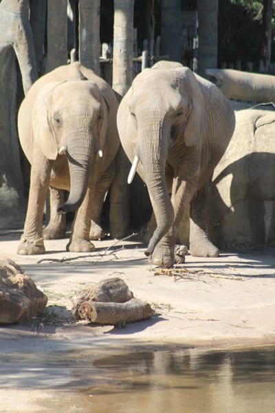 New elephants gaining weight and adjusting to their new home