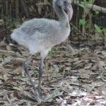 Baby flamingo last spring