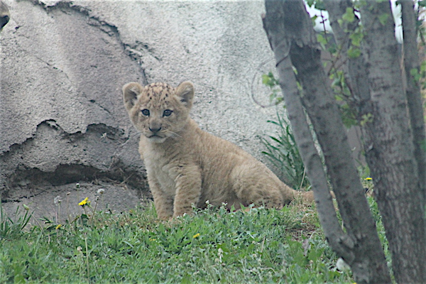 Bahati makes her first appearance at Dallas Zoo