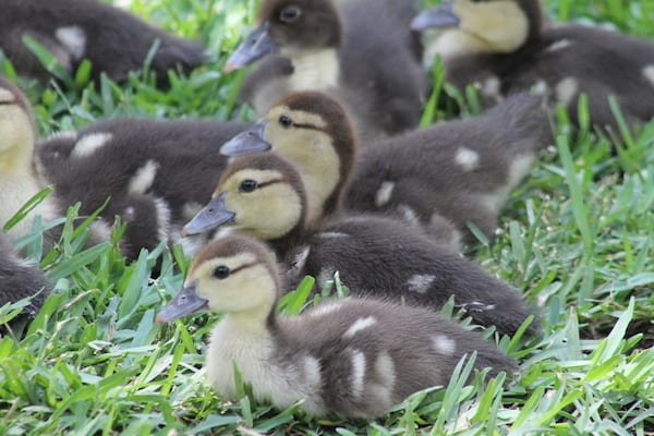 Is Oak Lawn worth saving? The Maple Springs ducks think so