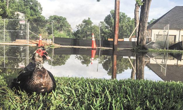 The ducks of Maple Springs photos